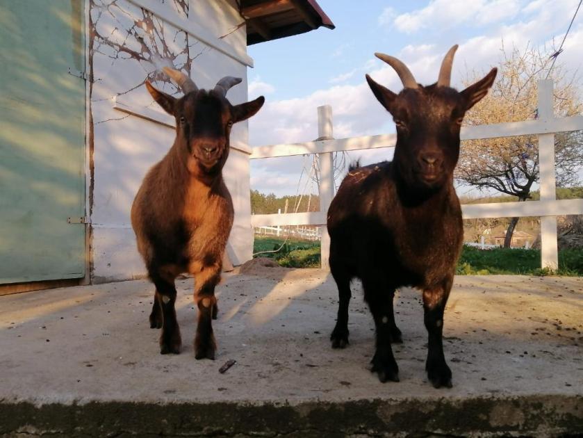 john calres goats