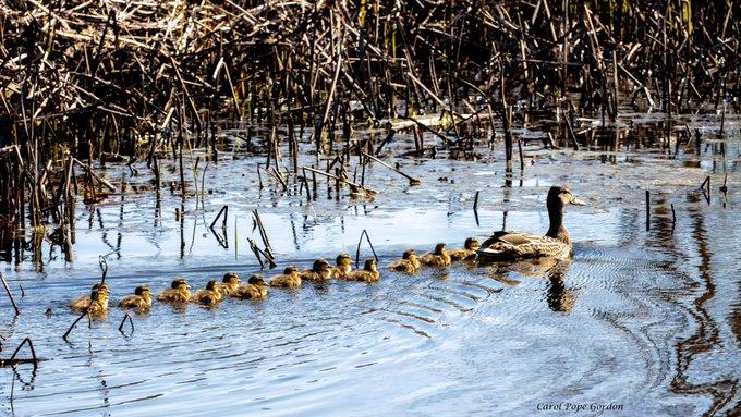 n ducklings