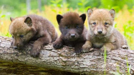 wolf babies