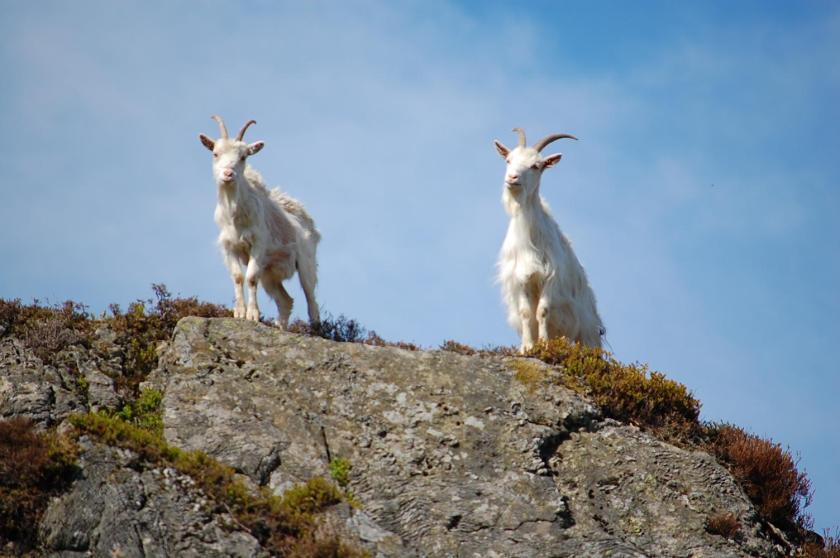 ss goats dave alb