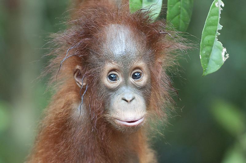 orangutan-baby-Borneo