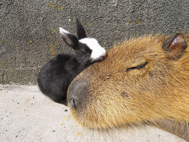 capybara-unusual-animal-friendship-35-5703a5979041b__605