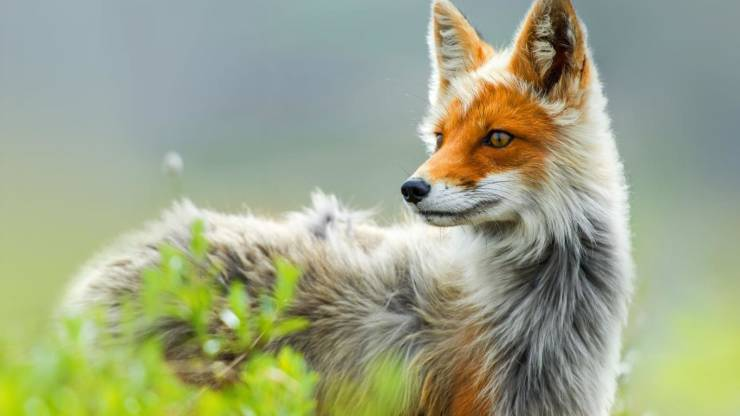 russian red fox