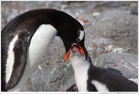 Parent feeding baby Gentoo Penguin. (Photo ID 16461-jouglapo)