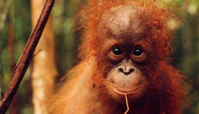 Orangutan Photos: May 2008